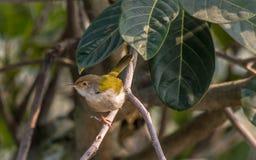 Een gemeenschappelijke zitting van de kleermakersvogel op boomtak stock foto's