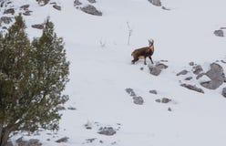 Gemzen bij een gesneeuwde berghelling Stock Afbeeldingen