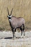 Een Gemsbok in Namibië Stock Foto