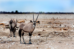 Een Gemsbok Oryx die zich op de Etosha-Vlaktes bevinden die direct vooruit w kijken Stock Fotografie