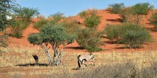 Een Gemsbok (Oryx-gazella) Royalty-vrije Stock Afbeeldingen