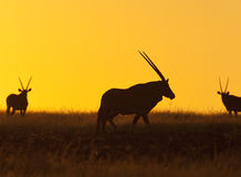 Een Gemsbok (Oryx) in Namibië Stock Afbeeldingen