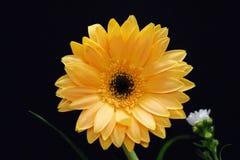 Een gerberabloem, de schoonheid van kleur royalty-vrije stock foto