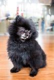 Een gerijpte zwarte Pomeranian-hond in gezette positie Stock Afbeeldingen