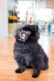 Een gerijpte zwarte Pomeranian-hond in gezette positie Stock Afbeelding