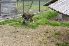In een geschermde bijlage knaagt de geit aan het groene gras Royalty-vrije Stock Afbeelding