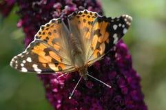 Een geschilderde damevlinder Stock Foto