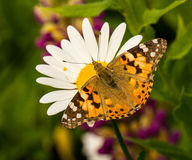 Een Geschilderde zitting van de Damevlinder op een madeliefje Stock Fotografie