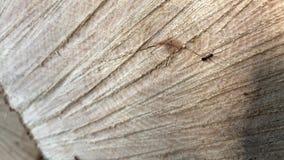 Een geschotene close-upmacro dat de mier langs de zaag hout sneed stock footage