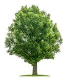 Een geïsoleerde eiken boom Royalty-vrije Stock Afbeelding