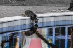 Een gestreepte kat mackarel kat met lang bont in het oneven leven drinkt water van een pool van het leven royalty-vrije stock foto