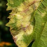 Een gevaarlijke ziekte van druivenschimmel - donsachtige schimmel lat Van pla Stock Fotografie