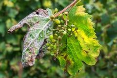 Een gevaarlijke ziekte van druivenschimmel - donsachtige schimmel lat Van pla Stock Foto's