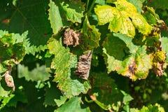 Een gevaarlijke ziekte van druivenschimmel - donsachtige schimmel lat Van pla Stock Foto