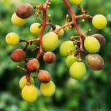Een gevaarlijke ziekte van druivenschimmel - donsachtige schimmel lat Van pla Stock Afbeeldingen