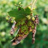 Een gevaarlijke ziekte van druivenschimmel - donsachtige schimmel lat Van pla Stock Afbeelding