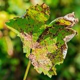 Een gevaarlijke ziekte van druivenschimmel - donsachtige schimmel lat Van pla Royalty-vrije Stock Afbeelding