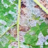 Een gevaarlijke ziekte van druivenschimmel - donsachtige schimmel lat Plasmo stock foto's