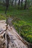 Een gevallen boom in het bos Royalty-vrije Stock Foto's