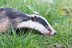 Een gevangen das in het Britse het Wildcentrum Royalty-vrije Stock Foto