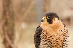 Een gevangen valk Falco van Barbarije pelegrinoides, valkerij Royalty-vrije Stock Afbeelding