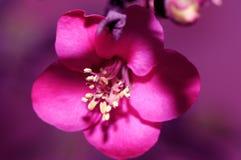 Een gevoelige en charmante bloem Stock Afbeelding