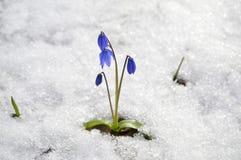 Een gevoelige en mooie eerste bloem Stock Fotografie