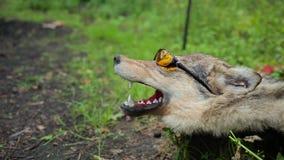 Een gevulde wolf in zonnebril stock video