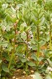 Een gewas van broardbonen in bloem stock fotografie