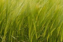 Een gewas van groene Gerst Stock Afbeelding