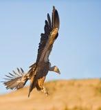 Een gier Griffon treft te landen voorbereidingen Stock Foto's