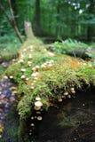 Een giftige paddestoel in een bos Stock Foto's