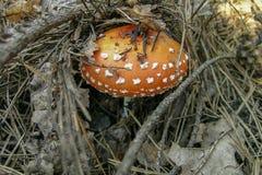 Een giftige paddestoel en een pinecone Royalty-vrije Stock Afbeelding