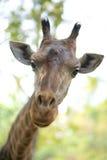 Een giraf in de dierentuin Stock Afbeelding