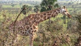 Een Giraf die in Bush weiden stock videobeelden