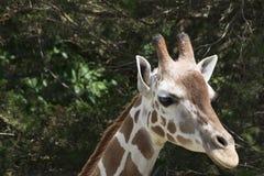 Een giraf in een dierentuin Royalty-vrije Stock Afbeeldingen