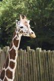 Een giraf in een dierentuin Stock Fotografie