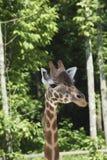 Een giraf in een dierentuin Stock Foto's