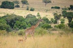 Een giraf en een impala stock fotografie