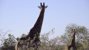 Een Giraf en zijn kalf stock footage