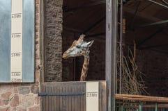 Een giraf in een pen de dierentuin stock fotografie