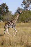 Een giraf in Savuti stock foto's