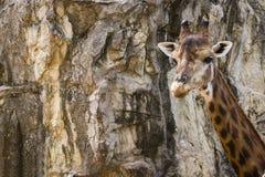 Een giraf, steenachtergrond Stock Afbeeldingen