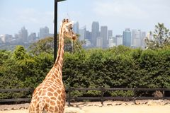 Een giraf in Taronga-Dierentuin Australië royalty-vrije stock fotografie