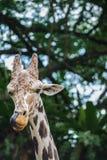 Een girafportret Royalty-vrije Stock Afbeeldingen