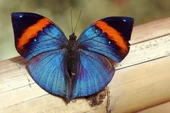 Een glanzende blauwe vlinder Stock Fotografie