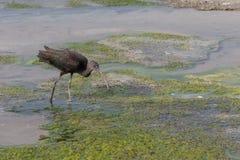 Een glanzende ibis zoekt diner in Ras al Khor in Doubai, Verenigde Arabische Emiraten uit stock afbeelding