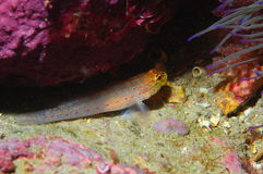Een Gobius-specie van xanthocephalusvissen Royalty-vrije Stock Foto