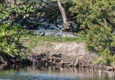 Een goed gecamoufleerde Amerikaanse alligator in Florida die zonnen op een berm in everglades, Florida royalty-vrije stock foto