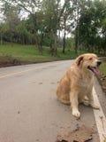Een golden retrieverhond die op de straat wachten stock afbeeldingen